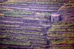 Vigneto alle 5 Terra in Liguria.
